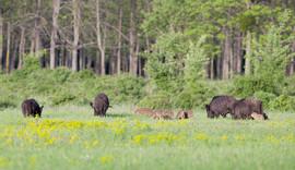 Wildschweinschaden im Grünland