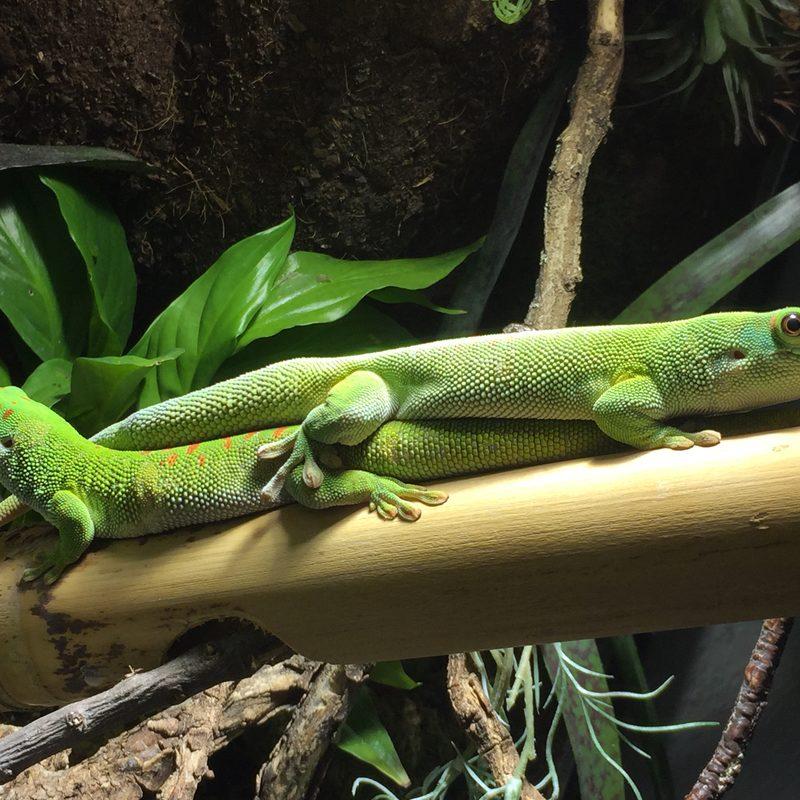 Madagaskar Taggecko Handmade-Terrarienbau